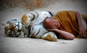 20080402-tiger-and-monk-sleeping